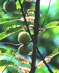 Amla/?????/Emblica officinalis/Indian Gooseberry/Amlaki